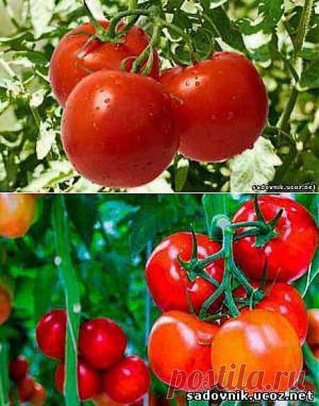 От фитофторы помидор Рецепты - Болезни растений  - Каталог статей - Садовник