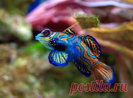 Рыбка - мандаринка