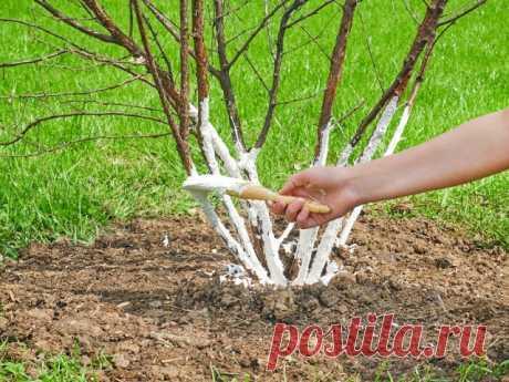 Вечные вопросы: белить или не белить деревья весной