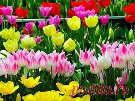 Как вырастить тюльпаны | Дача - впрок