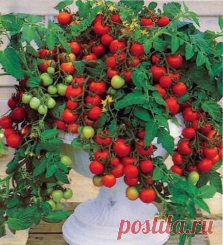 Los tomates colgantes | EN el JARDÍN Y En la HUERTA