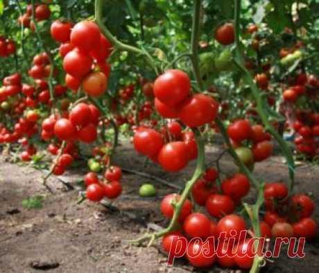 Как вырастить огромный урожай томатов. Как этого достичь. Реальный опыт от садовода