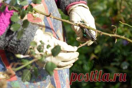 Весенний уход за розами