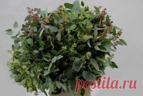 Особенности выращивания эвкалипта дома