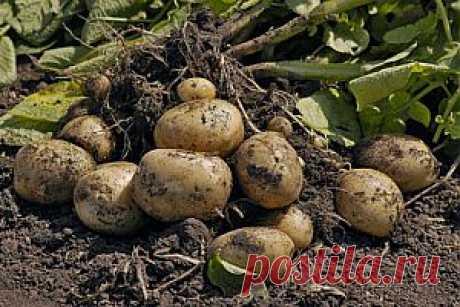 Опыт выращивания картофеля - 20 кустов - 40 ведер.