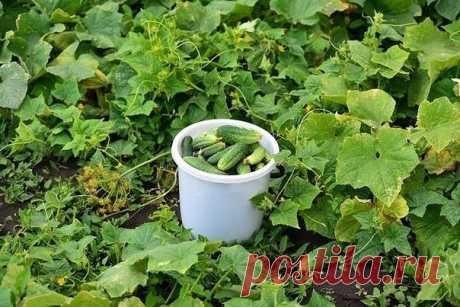 Las soluciones para la cosecha de los pepinillos
