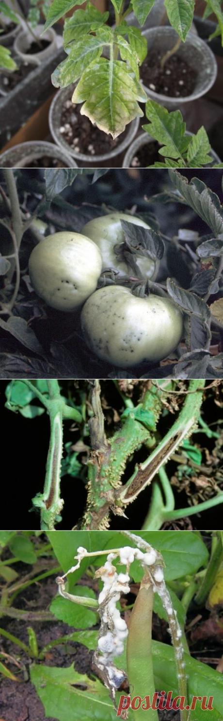 Болезни рассады томатов, фото и их лечение