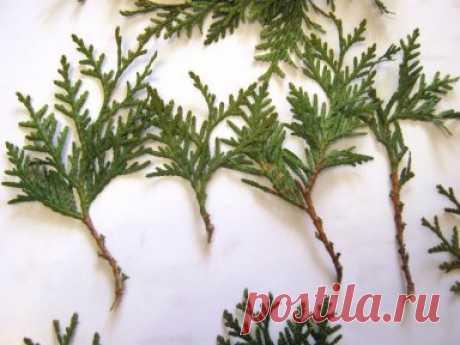 Как я выращиваю тую из веточки.    Я очень люблю вечнозеленые растения из-за их круглогодичной декоративности. Но, к сожалению, посадочный материал таких растений стоит недешево, поэтому я освоила метод размножения вечнозеленых черенкованием. Это позволяет вырастить очень красивое вечнозеленое растение, не потратив при этом ни копейки. Ведь получить черенок очень просто, нужно просто найти понравившееся дерево и отломить от него небольшую веточку. Как показывает мой опыт, далеко не все вечнозеле
