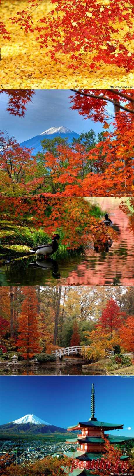 Осенью в Японии начинается сезон момидзи. В русском языке закрепилось два значения этого слова. Это, во-первых, название японского клёна, а во-вторых, так называют любование осенней листвой. Это очень важная японская традиция, такая же как любование сакурой весной.