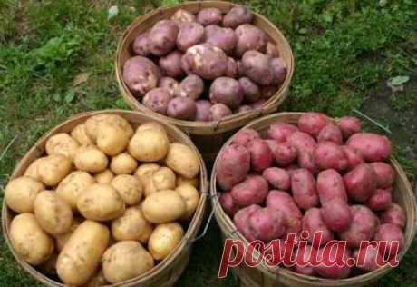 Добрым огородникам на заметку. Сорта картофеля, не поедающегося колорадским жуком