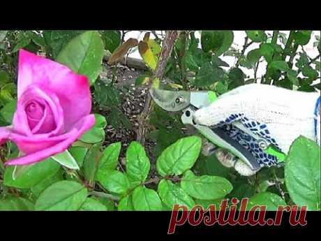 Розы Осеннее укоренение черенков в открытом грунте с пшеницей