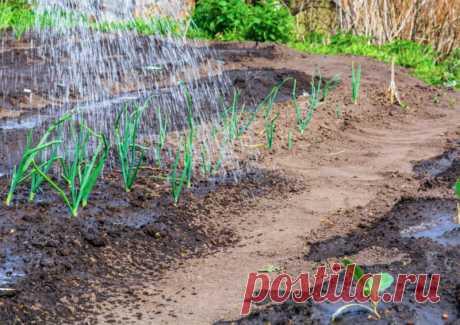 Чем подкормить лук, чтобы получить крупные луковицы | О Фазенде. Загородная жизнь | Яндекс Дзен