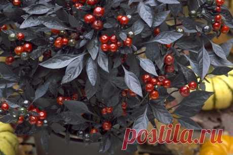 Перец стручковый «Оникс Ред» (Capsicum annuum 'Onyx Red').