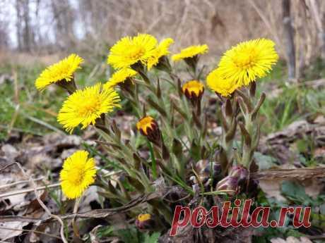 Применение мать-и-мачехи Если у вас кашель или вы склонны к частым простудным заболеваниям, то вам поможет мать-и-мачеха.   Называют мать-и-мачеху из-за строения ее листьев: на ощупь нижняя часть листа теплая, мягкая и бархатистая, верхняя же сторона – жесткая и холодная.   Самой полезной частью растения принято считать листья. Собирают их в июне — июле, через 2—3 недели после обсеменения корзинок. Корзинки срывают аккуратно руками вместе с черешком длиной не более 5 см).