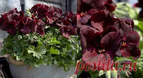 3 бесплатные подкормки для герани дают роскошное цветение – рассказываю о своём опыте   Зелёные истории   Яндекс Дзен