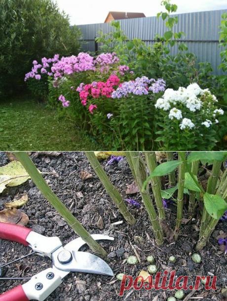 Половина цветоводов неправильно укрывает флоксы на зиму | посуДАЧИм об огороде | Яндекс Дзен