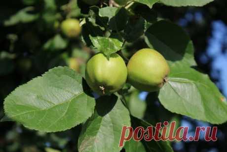 Недозрелые яблоки: что с ними можно сделать? Что делать из недозрелых яблок? Как использовать? Желе, конфитюр, стружки, чай, уксус, сок, варенье и цукаты. Готовка в микроволновке и сушка.