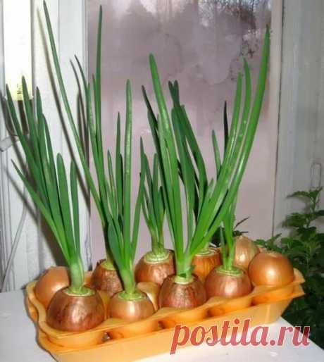 Интересный способ выращивания лука на подоконнике в ячейках из-под яиц   Наша Дача   Яндекс Дзен