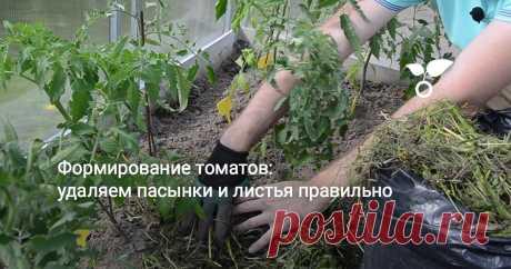 Рассада томатов, которую мы высадили месяц назад, уже успела подрасти. Теперь пришло время формирования кустов. Зачем нужна эта процедура, как проводить ее правильно в условиях теплицы?