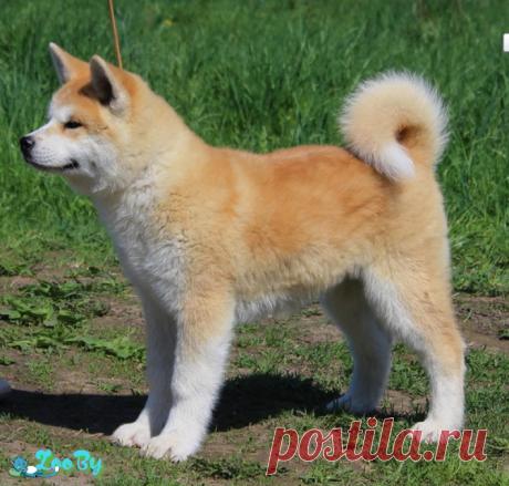 Собаки Акита-ину купить в Минске на сайте объявлений