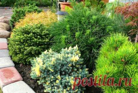 Маленькие хвойные растения: 3 лучших варианта для сада   Наталья Кудрявцева   Яндекс Дзен