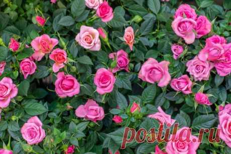 Касторовое масло для роз: опрыскивание для цветения