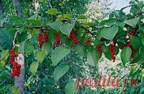 Выращиваем лимонник китайский у себя в саду, простой способ размножения - Чудо-огород
