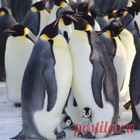 Колония императорских пингвинов неподалеку от антарктической станции Мирный. Автор фото – Николай Симанёв.