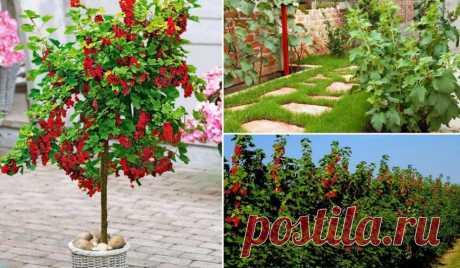 Штамбовая смородина: как вырастить дерево пошагово с фото, отзывы, посадка и уход, смородина на штамбе своими руками, обрезка