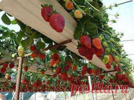 Отличная идея для выращивания клубники!