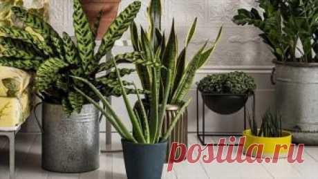 9 лечебных комнатных растений на подоконнике — выбирайте Здравствуйте, уважаемые читатели блога. Все мы знаем о лекарственных травах, но даже не подозреваем, что есть лечебные комнатные растения. Не удивляйтесь. Прекрасный оазис на вашем подоконнике способ...