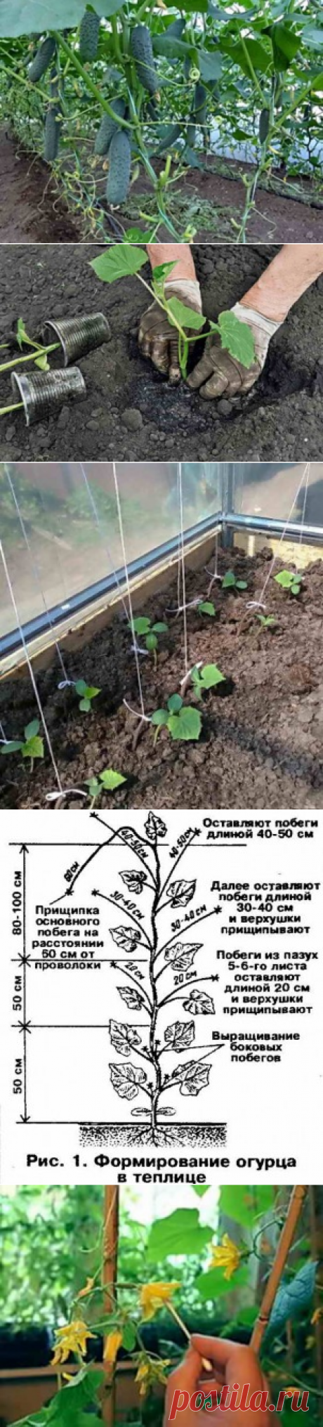 Cultivation of cucumbers in the greenhouse: from crops of seeds before harvesting | Giving - for the future