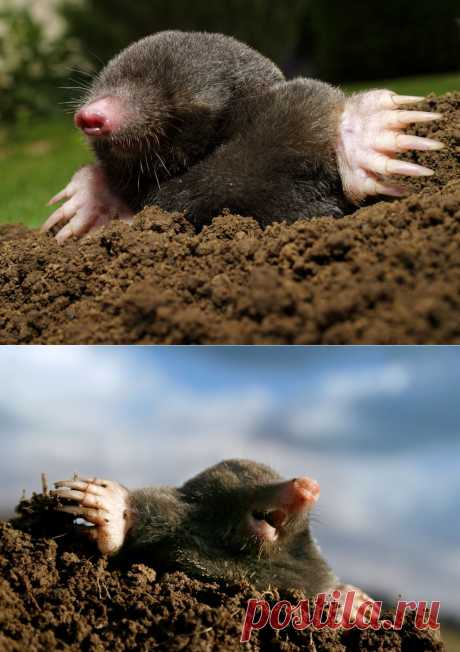 How to expel moles from giving.\u000d\u000a\u000d\u000aAs these darlings and, in general, useful beings annoy summer residents, many know from own experience. When fresh krotovina appear every day in flower beds, on beds, in the middle of a lawn — pleasant it is not enough, we will directly tell. I tried many means from this misfortune and I want to share results and impressions — as the, and neighbors who too moderately opportunities and an ingenuity protect country grounds from underground inhabitants.