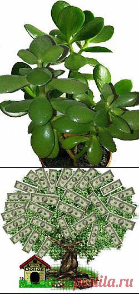 Как ухаживать за цветком, приносящим в дом доход и удачу?.