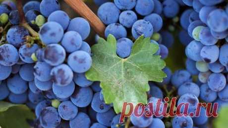 Зачем тратить лишние деньги, если все есть под руками: делюсь домашним рецептом 11-градусного полусладкого вина на винограде и сахаре