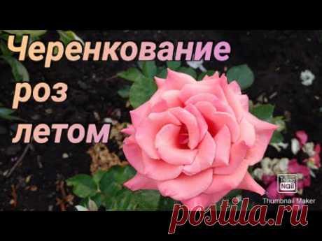 Розы. Черенкование роз после первой обрезки.