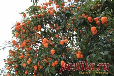мандариновый рай