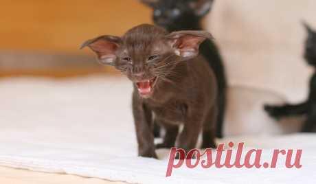 Ориентал: Теперь Добби свободен? Что за порода кошек-гоблинов? | Книга животных | Яндекс Дзен