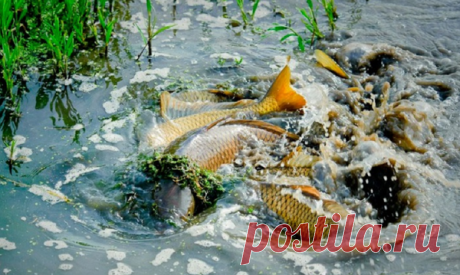 Нерест – когда начинается «рыбья свадьба»?   Madhunter.ru   Яндекс Дзен