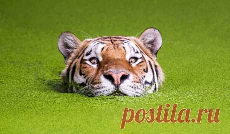 Сегодня на Дальнем Востоке отмечают День тигра. Тигры — настоящее воплощение дикой природы во всем ее великолепии. Это пост восхищения самыми грациозными, сильными и величественными кошками на планете: