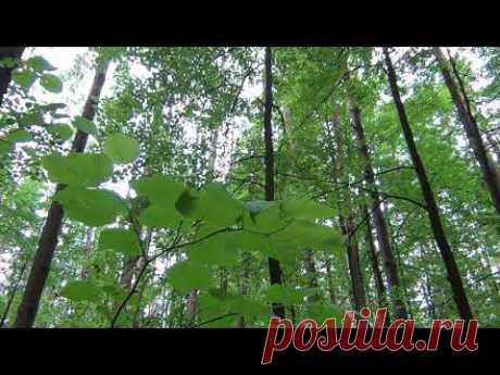 Звуки природы для сна и отдыха Лес пение птиц шум ветра