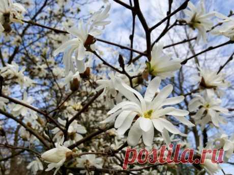 Gražuolė magnolija: kaip i š sirinkti, pasodinti ir prižiūrėti - Geltonas Karutis
