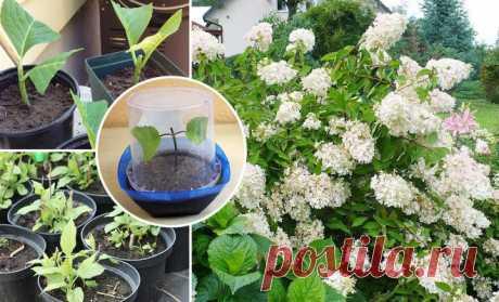Черенкование метельчатой гортензии весной, летом и осенью   В цветнике (Огород.ru)