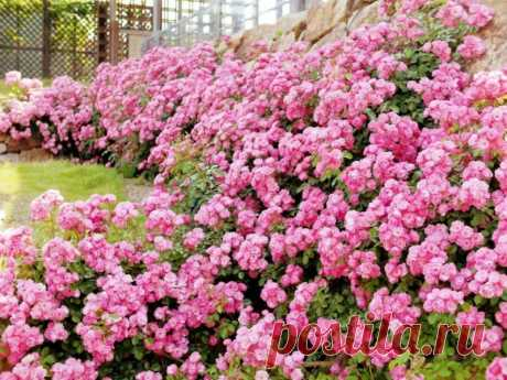 Плетистая роза правильный уход — Садоводка