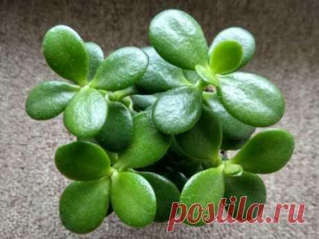 👨🌾 Правильный уход за толстянкой: 7 простых советов, чтобы растение хорошо росло и не болело