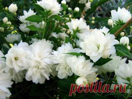 Mock orange: how to grow up a bush bouquet on the site