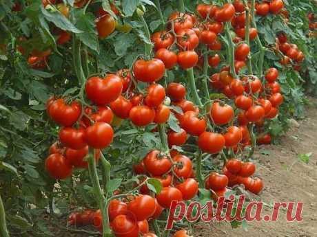 60 томатов с одного куста? Это реально! Собирать до 50-60 помидоров с каждого куста может каждый дачник! Секрет такого урожая прост: один куст помидоров нужно выращивать на двух корнях - и место экономится, и урожай будет обильнее. Сорт при этом не имеет значения. Для этого в одну емкость сажайте семена близко друг от друга - на расстоянии не более 1 см. Когда рассада подрастет и толщина стебля станет достаточно большой, острой бритвой снимите верхний слой стеблей двух соседних растений с той