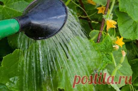 Как поливать огурцы в теплице и парниках :: Сад и огород :: Сад и огород