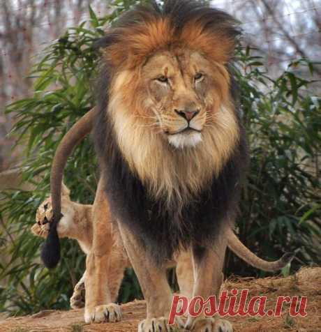 История о том, как львенок укусил отца за хвост и вышел сухим из воды