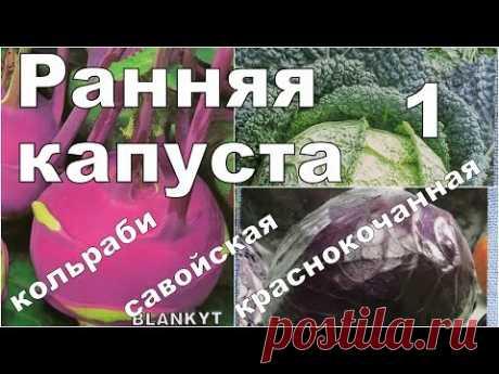 РАННИЕ И РАЗНЫЕ КАПУСТЫ. 1. Посев и всходы. Кольраби, савойская, краснокочанная - YouTube